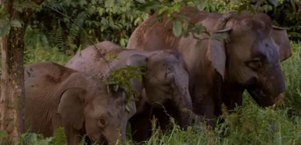 pygmy-elephants